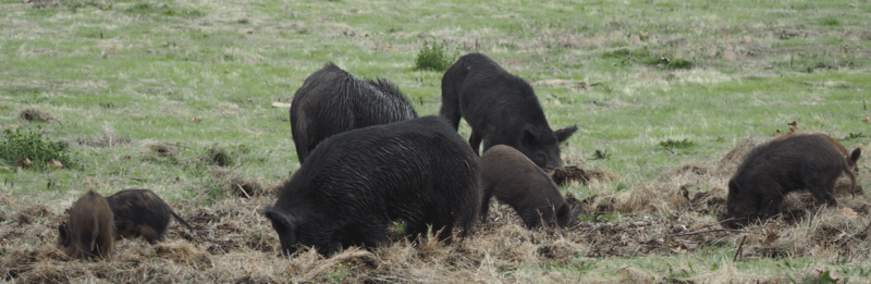 Hog Hunting with Dogs - Part I - Adam's Garden of Eatin'